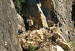 Griffon Vulture chick defecating over edge of nest