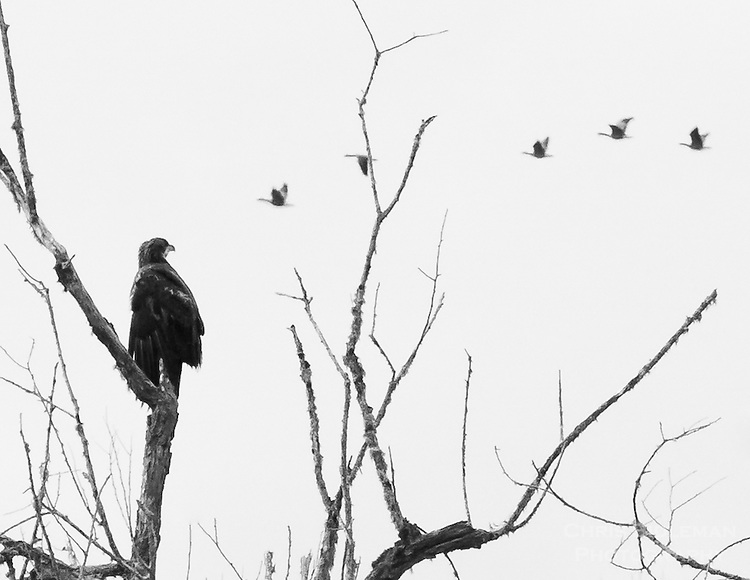 Gift card photo of an immature bald eagle (Haliaeetus leucocephalus) is perched on a bare tree branch staring off in the distance at a group of geese flying in a row in this black and white photo rendering