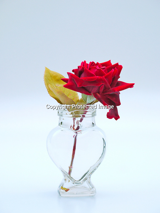 Rose In Heart Shaped Vase Paddy Bergin Stock Photos