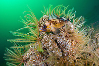 Quillback Rockfish ( ) rests among crinoids or feather stars, in Jervis Inlet on the Sunshine Coast of British Columbia, Canada.