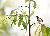 Stock image Sunbird Purple-rumped  female sitting on a stem of Ashoka tree.<br />