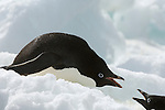 Two adelie penguins walk on ice on Brown Bluff on the Antarctic Peninsula.