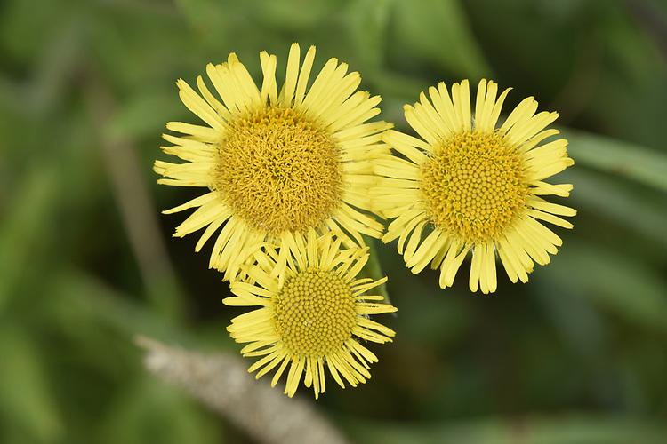 Common Fleabane - Pulicaria dysenterica