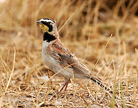 Adult male horned lark