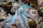 Octopus scavenging at night, fully extended in irridescent blue