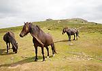 Dartmoor ponies, Dartmoor national park, Devon, England, UK