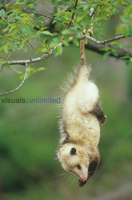 Opossum hanging from a tree branch by its prehensile tail (Didelphis marsupialis), USA....