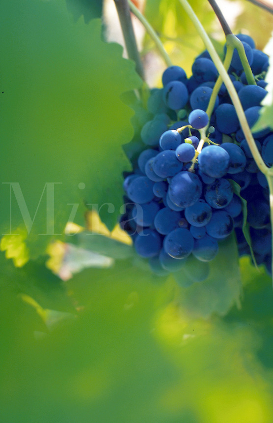 Wine grapes in vineyard.