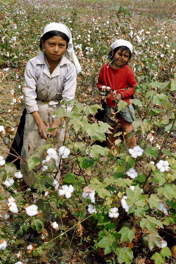 Girls picking cotton in valley of Chira River in northern Peru.