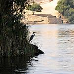Héron au bord du Nil aux environs d'Assouan et de l'île Elephantine en Egypte / Afrique / Heron on Nile river embankment near Assouan in Egypt
