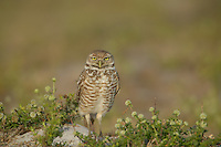 Burrowing Owl (Athene cunicularia)lstanding next to burrow entrance