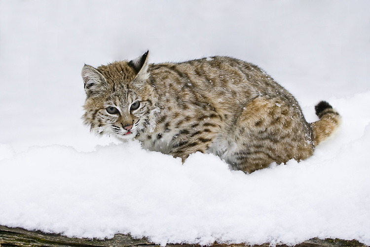 Young Bobcat lying on top of a snow covered log - CA