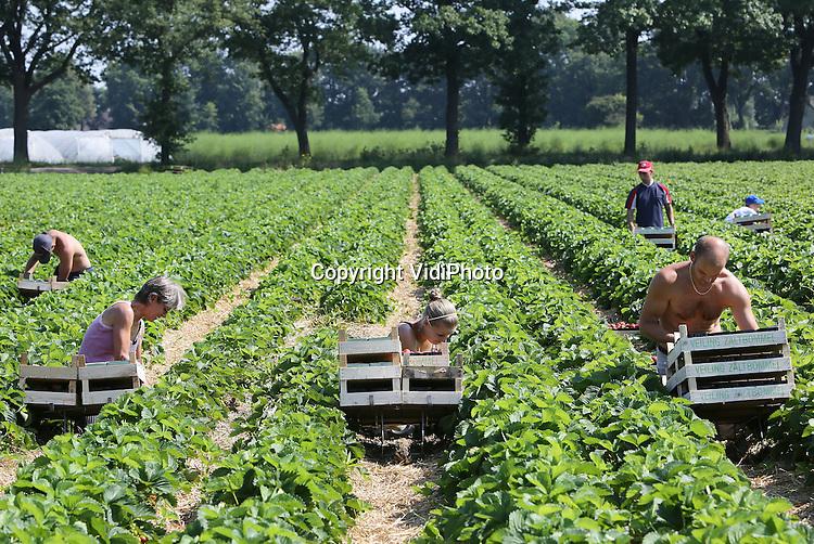 Foto: VidiPhoto<br /> <br /> SINT MICHIELSGESTEL - Poolse werknemers van aardbeienteler Peter van de Ven uit het Brabantse Stint Michielsgestel, doen maandag de lambada. Zo heet de zomeraardbei die van de volle grond geoogst wordt. Het is wel zwoegen en zweten onder de felle zon. Door het warme weer groeien de aardbeien als kool en moeten ze snel geoogst worden. Door het grote aanbod aan aardbeien en een prijzenoorlog tussen de supermarkten, moeten telers op dit moment hun product onder de kostprijs verkopen. Consumenten kunnen daardoor op dit moment voor een zacht prijsje aardbeien eten. Van de Ven, die ruim 8 ha. aardbeien heeft, levert onder andere aan fruitveiling Zaltbommel.