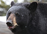 Gracie, a 5-year-old North American Black Bear, plays in her enclosure at the Animal Ark in north Reno, Nev, on Tuesday, May 17, 2011..Photo by Cathleen Allison