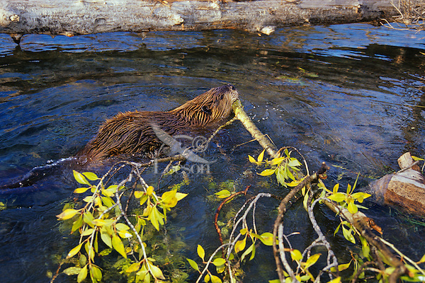 North American Beaver (Castor canadensis) hauling limb back to winter food cache. Fall. Western US.