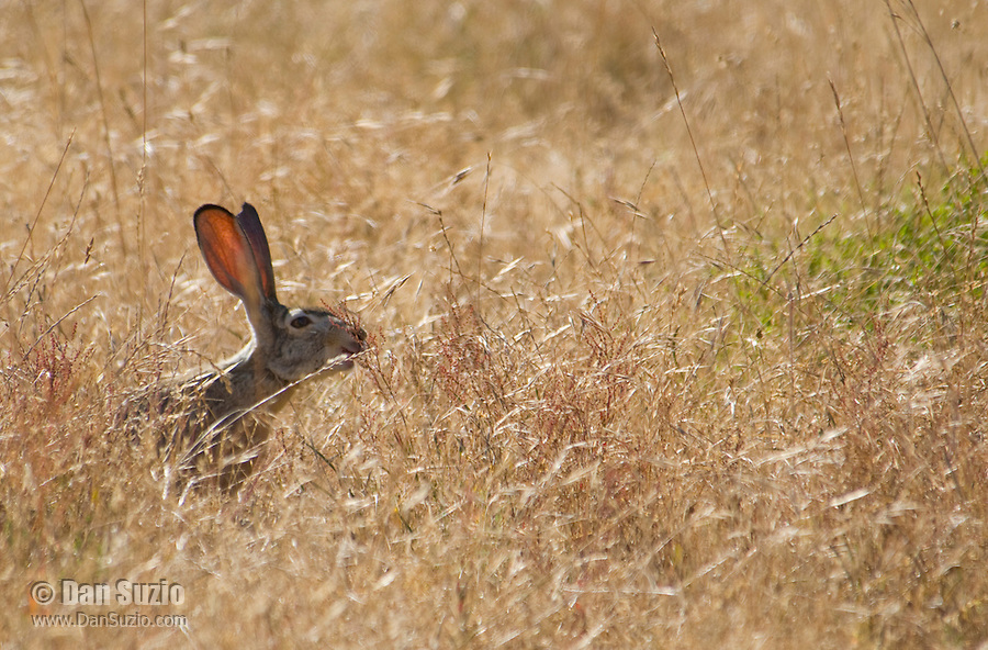 Black-tailed jackrabbit, Lepus californicus, Point Reyes National Seashore, California