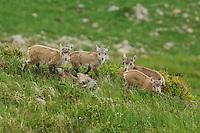 Alpine Ibex (Capra ibex), young, Niederhorn, Interlaken, Switzerland