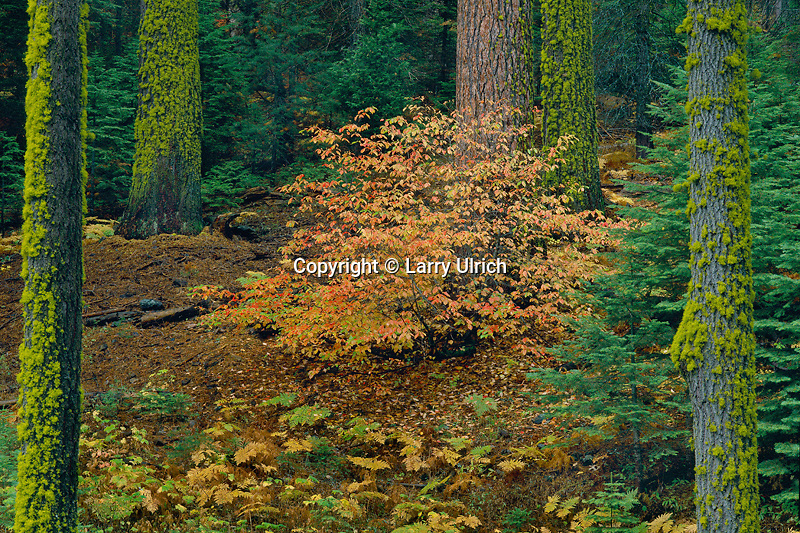 Mountain dogwood and white firs<br /> Redwood Mountain Grove<br /> Kings Canyon National Park<br /> Sierra Nevada,  California