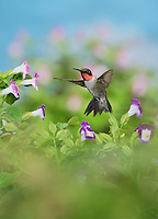 Ruby-throated Hummingbird (Archilochus colubris), male in flight feeding on Wishbone flower (Torenia fournieri), Hill Country, Texas, USA