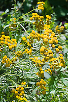 Tanacetum vulgare in yellow buttons flowers