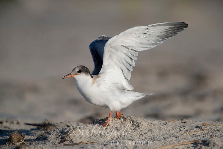 Common Tern (Sterna hirundo hirundo), Common subspecies, chick in juvenile plumage exercising its wings at Nickerson Beach Park, Lido, Long Island, New York.
