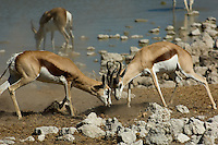Two springbok bucks square up and lock horns. One of these bucks had been in position near the Okaukuejo water hole in the Etosha National Park for some hours and was challenging all-comers by frequent aggressive grunting noises.