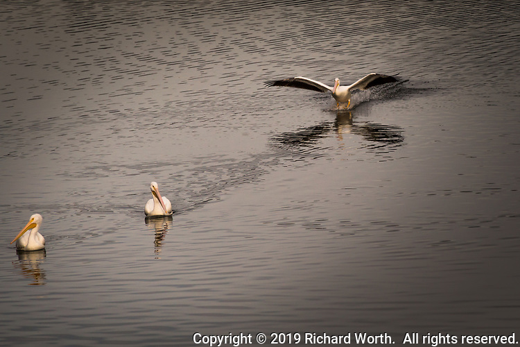 With its wings spread wide and its webbed feet splashing down, an American White Pelican comes in for a landing to join  fellow pelicans at Lake Chabot Regional Park, Castro Valley, California.