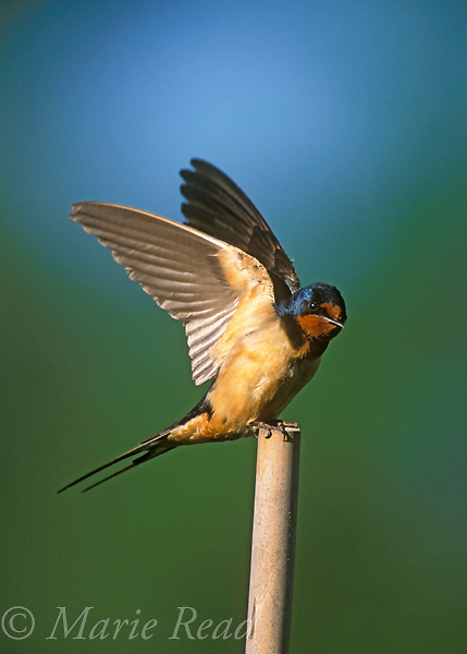 Barn Swallow (Hirundo rustica), adult stretching its wings, showing its distinctive forked tail, New York, USA<br /> Slide # B114-161