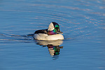 Drake bufflehead resting on a northern Wisconsin lake.