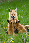 Red Fox kits nuzzle their mother.