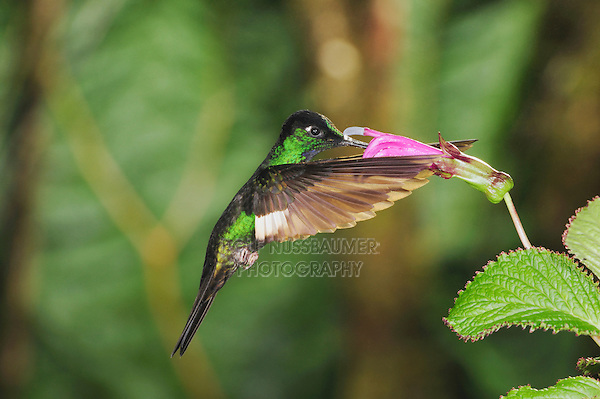 Buff-Winged Starfrontlet (Coeligena lutetiae), male feeding from flower, Yanacocha, Quito, Ecuador, Andes, South America