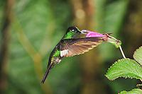 Buff-Winged Starfrontlet (Coeligena lutetiae), male feeding from flower, Yanacocha, Quito, Ecuador, Andes, South America