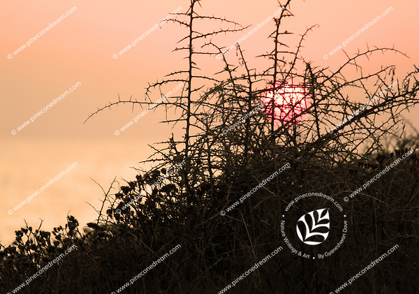 Sun setting behind thorny shrubs in Paphos, Cyprus.