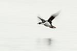 Imperial Shag (Phalacrocorax atriceps) flying, Punta Arenas, Strait of Magellan, Patagonia, Chile
