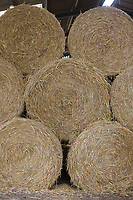 Round straw bales stacked in a shed <br /> Picture Tim Scrivener 07850 303986<br /> &hellip;.covering agriculture in the UK&hellip;.