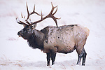 Brushing away snow by pawing the snow-covered earth, a bull elk finds frozen grasses to graze on during a harsh winter storm in Jackson Hole, Wyoming.