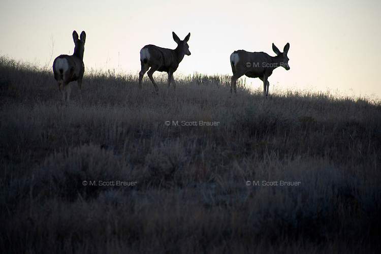 Mule deer graze on the Coffee Ranch near Melstone and Sumatra, Montana, in Rosebud County.