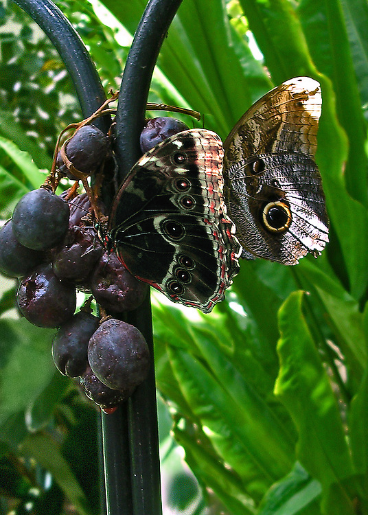 A Morpho and an Owl butterfly sharing grapes hung on a stand for their pleasure at the North Carolina Museum of Life and Science Butterfly House.