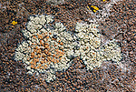Stonewall Rim Lichen (Lecanora muralis) on a granite boulder with Brown Tile Lichen (Lecidea atrobrunnea). Kyburz Flat. Tahoe National Forest. Nevada Co., Calif.