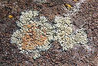 Stonewall Rim Lichen (Lecanora muralis) on a granite boulder with Brown Tile Lichen (Lecidea atrobrunnea). Kyburz Flat. Tahoe National Forest. Nevada Co., Calif.