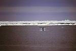 Bowhead Whale Tail