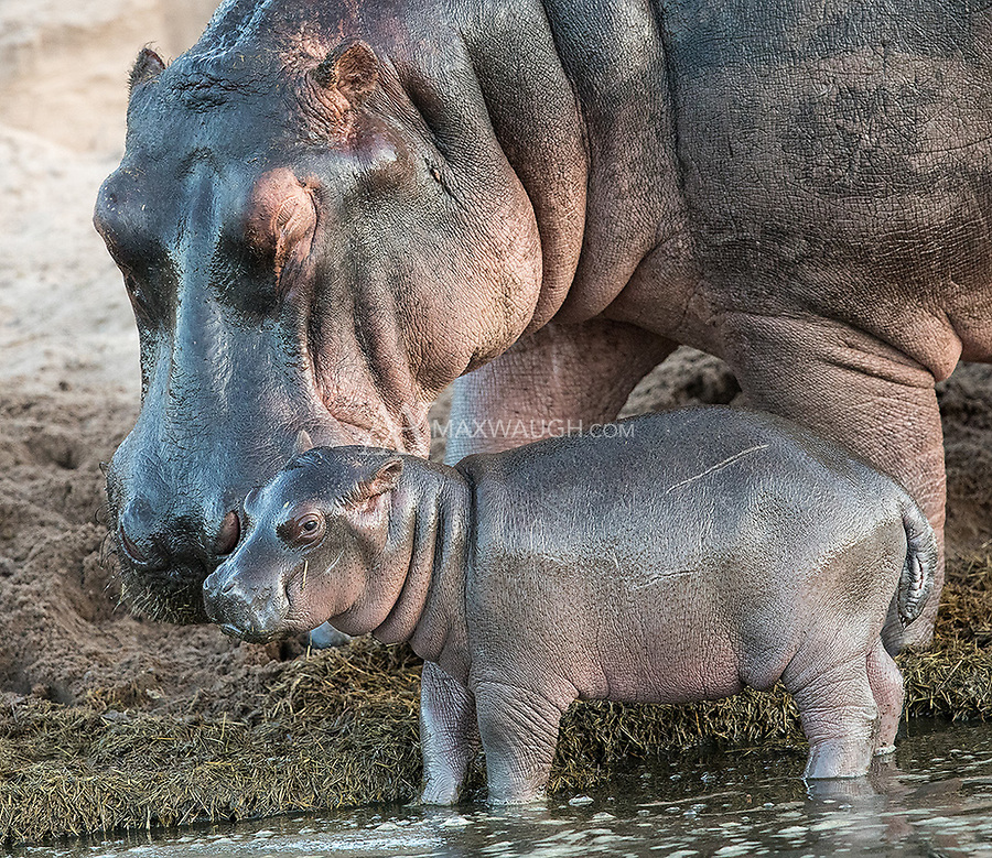 We had a couple of nice shoots with hippos in the Ngorongoro Crater and Serengeti.