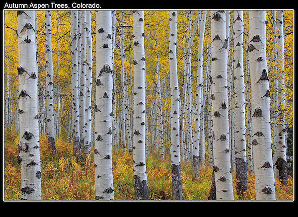 Aspen trees begin to turn yellow in mid to late-September. Rocky Mountain National Park.<br />