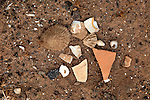Sea-shells and pottery shards at pre-Spanish Mahos village, Poblado de la Atalayita, Pozo Negro, Fuerteventura, Canary Islands, Spain