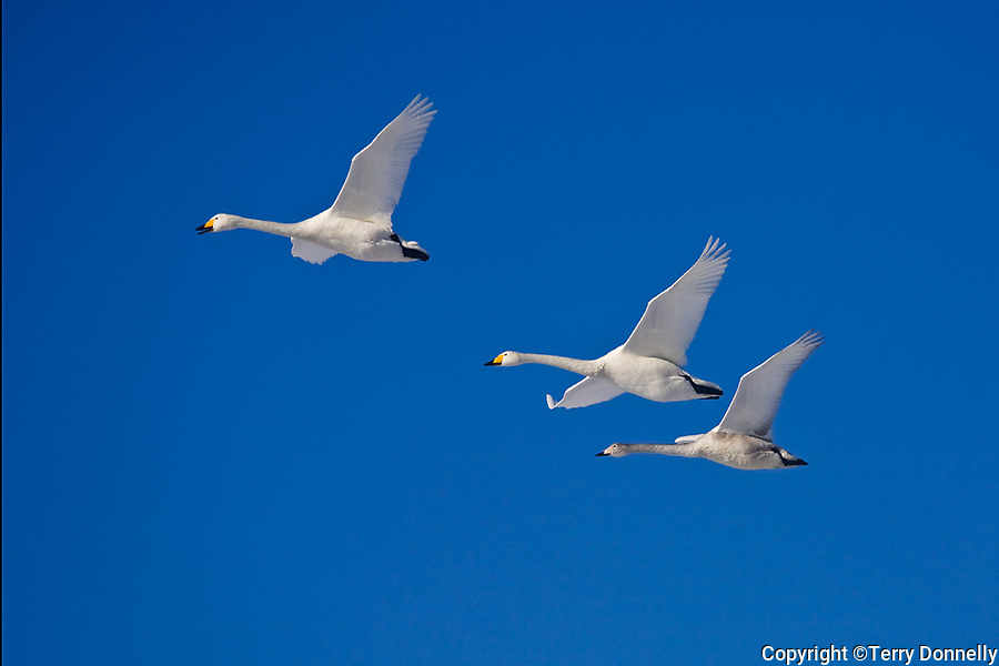 Hokkaido, Japan<br /> Whooper Swans (Cygnus cygnus) flying in a blue sky, Lake Kussharo, Akan National Park