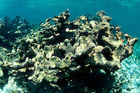 Dead Elkhorn Coral