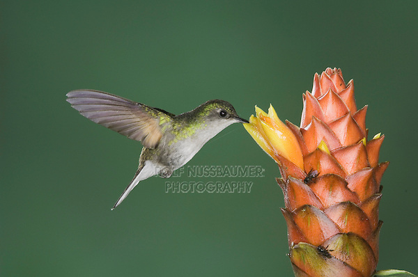 Black-bellied Hummingbird, Eupherusa nigriventris, female in flight feeding on Spiral Ginger (Costus Pulverulentus), Central Valley, Costa Rica, Central America, December 2006