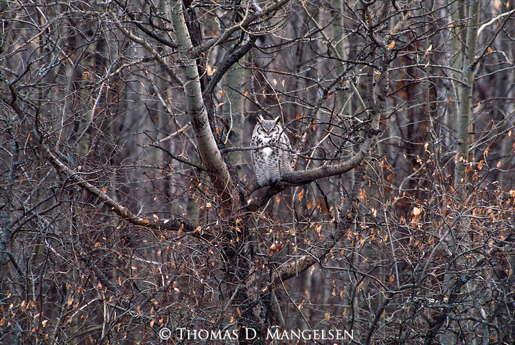 A great horned owl perches in a tree.