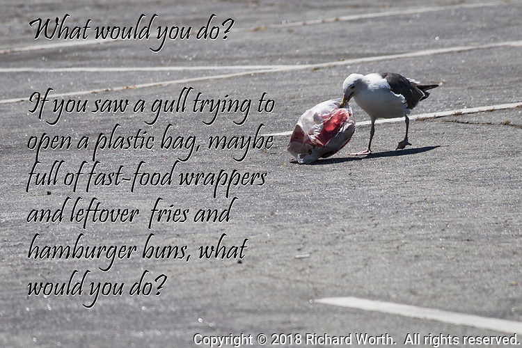 A gull wrestles with a plastic bag in a parking lot with a caption asking what would you do?