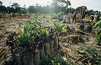 CAMBODIA, Mekong region, Stung Treng, logging of rainforest, cleared and burned forest, children of settlers, fruit tree seedlings